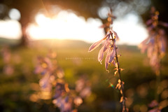 evening (marchellem) Tags: flowers light 35mm evening bokeh hosta whores natureycrap nikond700 bokehwednesday