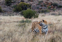 _S7A3197-small (buddy4344) Tags: africa tiger jv freestate karoo tigercanyons johnvarty