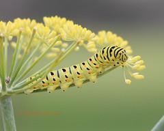 Anise swallowtail caterpillar (Victoria Morrow) Tags: droh dailyrayofhope dailyrayofhope2015