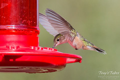 July 25, 2015 - A hummingbird visits a feeder in Arapahoe National Forest. (Tony's Takes)