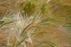 Barley (heathernewman) Tags: brown plant barley closeup golden cereal crops agriculture goldenbrown arable