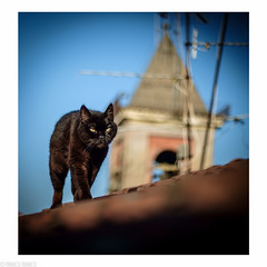 cats on the roof (franxblank) Tags: roof cats fauna tetto luna gatti