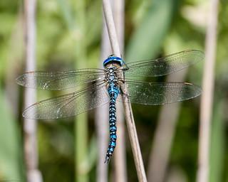 Blue-eyed Hawker