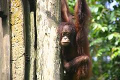 Sepilok Orangutan Sanctuary, Borneo, Malaysia