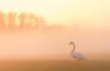 Ochtend zonnetje (Bart Weerdenburg) Tags: zon sun sunrise zonsopkomst morning morgen mist winter forens utrecht nederland netherlands bird swan zwaan nature