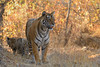 ADS_0000115840 (dickysingh) Tags: tigers cubs family noor wild wildlife bigcats ranthambore ranthambhorenationalpark