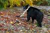 Black Bear (fascinationwildlife) Tags: animal mammal black bear schwarzbär bär predator wild wildlife fall autumn river creek salmon run canada kanada bc british columbia forest