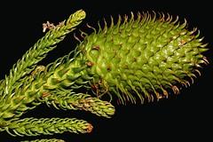 Araucaria cunninghamii (andreas lambrianides) Tags: araucariacunninghamii araucariaceae araucariacunninghamiivarcunninghamii hooppine australianflora australiannativeplants australianrainforestplants arfp qrfp cyrfp nswrfp arffs greenarffs