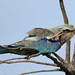 Lilac-breasted Roller, Coracias caudatus, at Elephant Sands Lodge, Botswana