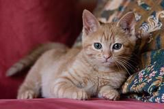Frida (Thelma Gatuzzo) Tags: gato pet chat gata feline thelmagatuzzo© kitten cat animal