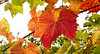 andreabrussi.it_FL-021 (Uploading in progress!) Tags: foglie colore leaves grapes uva