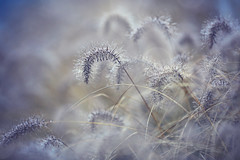 winterfairy.... (^els^) Tags: grass winter drops grey dreamy beauty nature december canon 6d 135mm