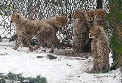 Six Pack (Noodles Photo) Tags: cheetah cheetahcubs acinonyxjubatus cubs tierkinder groskatze gepard katze raubtier cub canoneos1dmarkiii ef100400mmf4556lisusm burgerszoo niederlande netherlands gepardenbabys arnheim arnhem