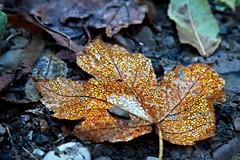 Golden Leaf (Strocchi) Tags: leaf foglia autunno autumn water acqua gocce drops canon eos6d 24105mm gold oro foliage