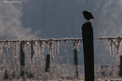 Contre jour sur rouge gorge / Robin on a frosted fence HFF (BPBP42) Tags: barriere fence givre oiseau bird vogel nature