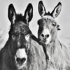 ~~ Mes 2 Pépettes : Margot et Ninon ~~ (Joélisa) Tags: nb bw noiretblanc margot ninon ânes donkeys esel deux two portrait oreilles