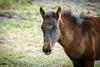 Paynes Prairie Visitors Center Wild Horses 01-09-2017 (Jerry's Wild Life) Tags: alachua alachuacounty florida gainesville paynesprairie paynesprairiestatepark spanishhorse spanishhorses wildhorse wildhorses