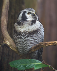 Northern Hawk Owl (Delboy Studios) Tags: centre cotswald falconry northern hawk owl