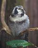 Northern Hawk Owl (Delboy Studios) Tags: centre cotswald falconry northern hawk owl