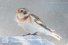 Snow Bunting (Tom Dean.) Tags: vr uk wildlife nature bird birds d810 nikon nikkor snowbunting