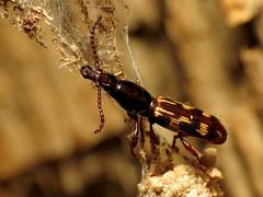 Oak Timberworm (treegrow) Tags: washingtondc rockcreekpark lifeonearth nature canonpowershotsx40hs raynoxdcr250 arthropoda insect arrhenodesminutus taxonomy:binomial=arrhenodesminutus brentidae coleoptera beetle