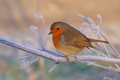 Winter Robin (Hugobian) Tags: hmwt amwell nature reserve winter frost pentax k1 cold robin bird birds british fauna wildlife animal