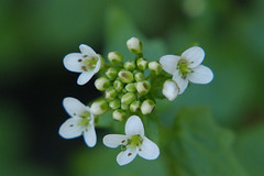 Wasabi flower (Steenjep) Tags: flower macro closeup blomst have garden white green hvid wasabi