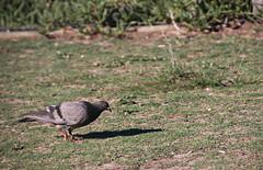 2017 Sydney: Botany Bay #7 (dominotic) Tags: sydney nsw australia newsouthwales 2017 pigeon bird botanybay beach brightonlesands ladyrobinsonsbeach