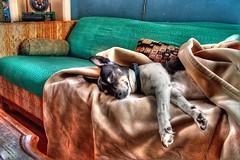 Tobes sleeping (ojaipatrick) Tags: light sleeping toby dog color topv111 topv2222 photoshop topv333 topf75 quality topc50 topc100 terrier dri hdr highdynamicrange ratterrier photomatix topvaa top20hdr hdrsurreal