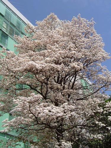 Ipê-branco (Tabebuia roseo alba) ou Pau D'arco - White Tabebuia tree - DSC06490