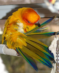 Diva does feathers... (darn split ends!) (Ollie girl) Tags: blue orange birds yellow preening relaxing ollie parrots sunconure catchycolorsorange featheryfriday ccpb0508