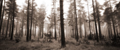 Grainey Misty Pines (stevestreet) Tags: new morning trees mist sepia forest panoramic mamiya7