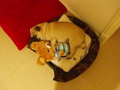 Ah Dat and bear bear (hwh222) Tags: hongkong pug ahdat