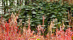Lilies and red sedge - autumn reflection (roddh) Tags: red reflection green fall water colors topv111 pond waterlily lily sony pad cybershot lilies lilypond f707 roddh