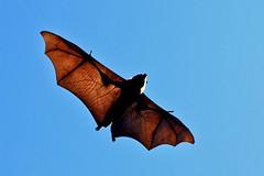 Veins In The Membrane (tarotastic) Tags: bravo saveme3 deleteme10 bat interestingness1 150 200 100 50 topf150 topv4444 topf200 fruitbat topc150 cmcolors