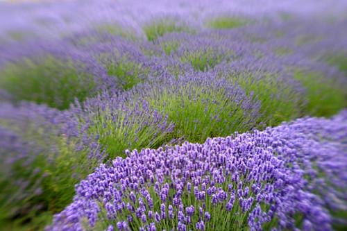 Lavender by kathyv