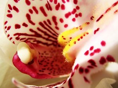 Groove (est0al) Tags: flowers red plant orchid flower macro yellow orchids leppard ccmpclosencounter