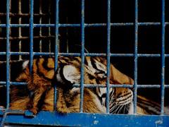 Trs tristes Tigres 2 (LuPan59) Tags: kodak dx7590 lupan