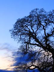 Valley Oak Silhouette (laura.bell) Tags: california trees tree silhouette march oak 2006 oaks placer valleyoak challengeyouwinner shotsilove