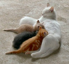 white cat nursing her young