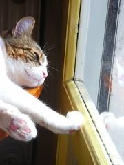PICT0088 (Jiobbe) Tags: pet cats pets animal animals cat arthur kitten milo catsandwindows