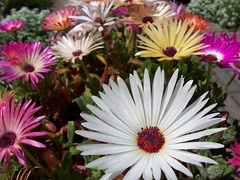 (jaja_1985) Tags: flowers macro closeup mesembryanthemum