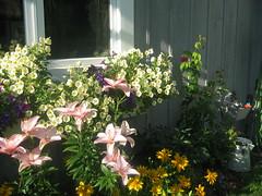 Pour entrer en contact avec les fleurs... (Sue Cloutier) Tags: flowers fleurs garden  jardin lys bote flowersincontainers rudbaky