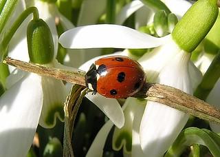 Ladybug-Joaninha-Marienkäfer-Vaquita de San Antonio for Spring Competition Nr. 1