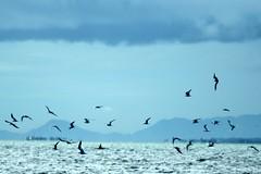 langgam (Farl) Tags: travel blue sea sky water colors birds islands boat fisherman aqua feeding philippines cebu waters channel mactan lapulapu flickrmeetup olango opon cebusugbo kaubyan