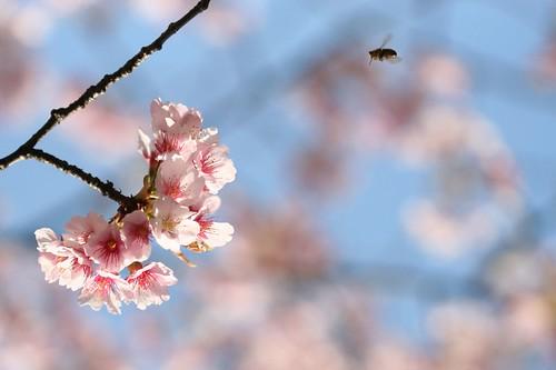 cherry-blossom and honeybee, Ueno