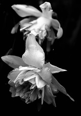 (belle*devotchka) Tags: flowers bw black london nature overgrown cemetery noir negro preto delicate fragile zwart sort southlondon nero peckham nunhead nunheadcemetery schwarze  78points