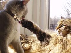 Harley's right hook. (scatz) Tags: cats fight chat gatos harley mia gatto katzen catz mainecooncats catcouples catsinwindows burmesecats scatz commentonmycuteness