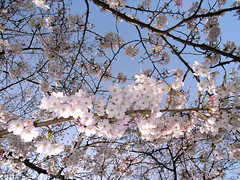 2006.3.29 Cherry Blossoms (shinichiro*) Tags: 15fav flower color cute love japan cherry 100v tokyo interestingness cool blossoms 2006 getty sakura cherryblossoms grdigital crazyshin rf 0329 grd 20090911 2009separt06 0009999