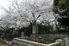 Sakura @ Hanami at Yanaka Cemetary (( I was ) Lost in Tokyo) Tags: flower fleur japan cherry tokyo cemetary sakura japon hanami cimetiere cerisier taitoku yanaka taito